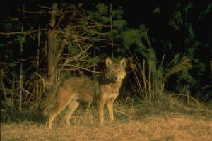 Red Wolf in the Great Smokies Mountain National Park