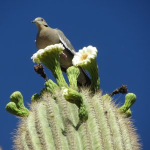 Saguaro Cactus in bloom with a white dove.