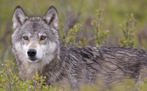 Gray wolves protected in our National Parks.