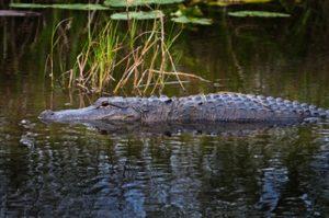 American alligator on the pond at Everglades National Park