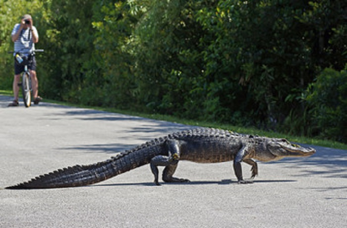 American alligator walking across bicycle path at Shark Valley in the Everglades National Park, Florida, USA