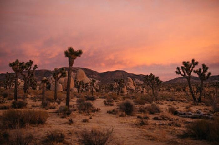 Joshua Tree Pink Sunset in the Hot Desert of Mojave National Preserve