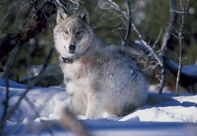 April is the best time to visit Yellowstone if you want to see gray wolves
