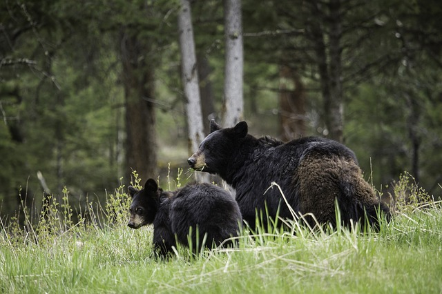 Spring is the best time to visit Yellowstone because of the baby animals