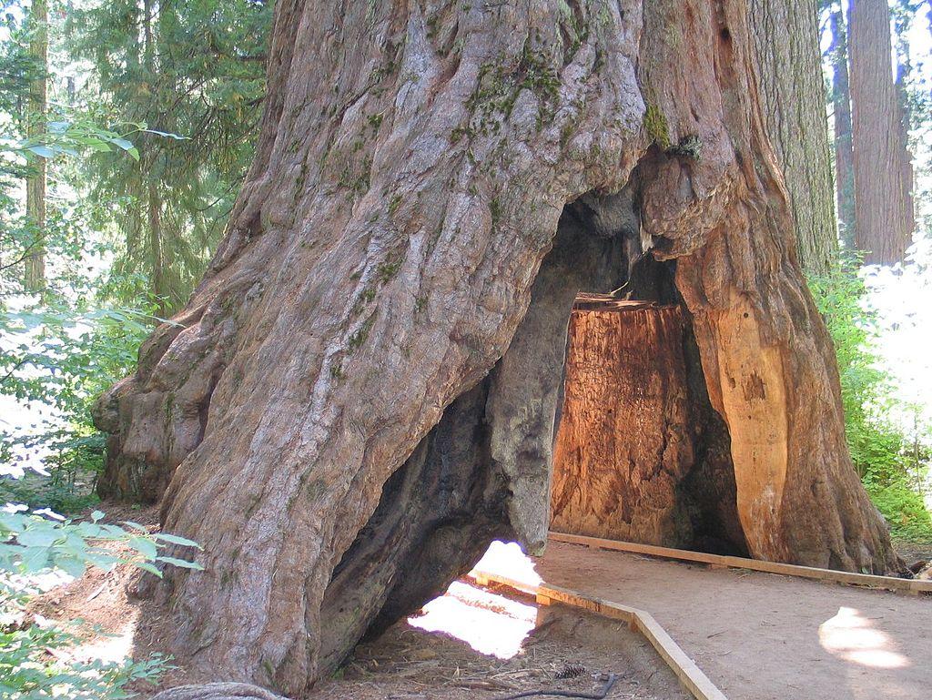 Tree tunnel at calaveras big trees state park