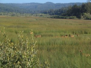 Roosevelt elk at prairie creek redwoods state park