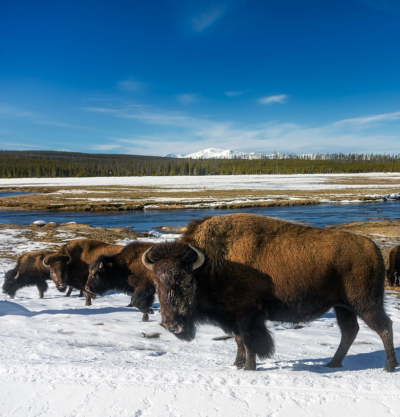 A snowy landscape with Bison and blue skies overhead