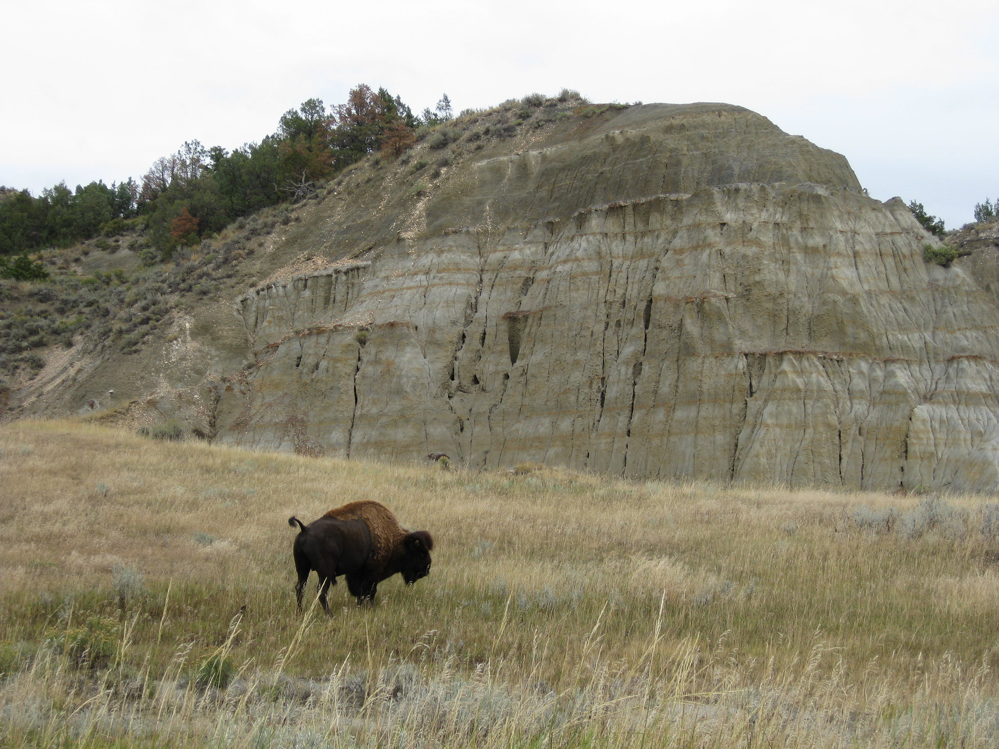 Buffalo at Theodore Roosevelt National Park south unit